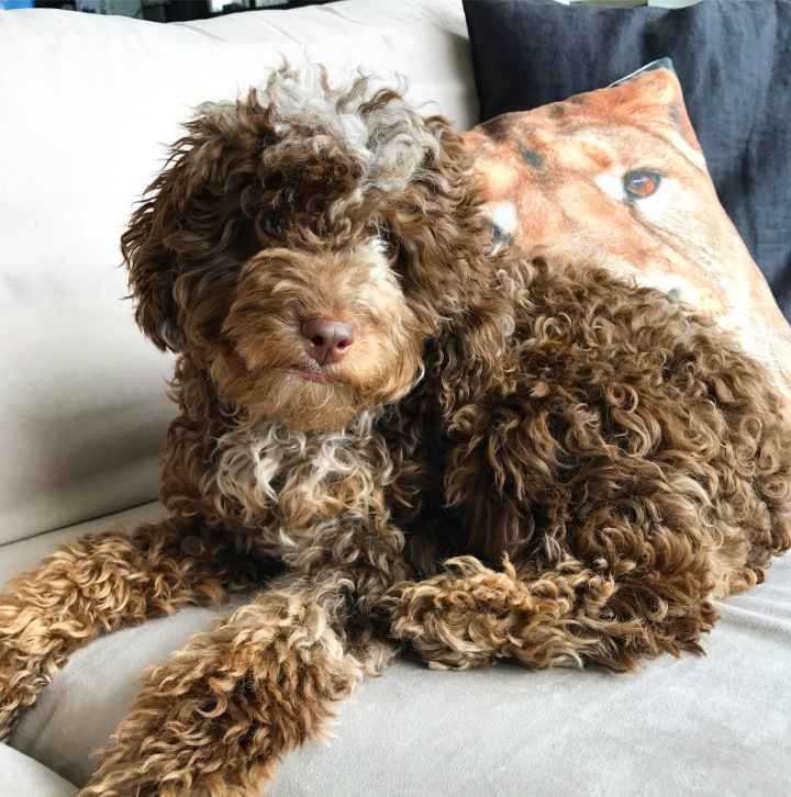 Why A Cockapoo?